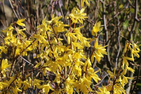 Goldglöckchen 'Maree d'Or' ® - Forsythia intermedia 'Maree d'Or' ®