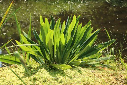 Goldkeule - Orontium aquaticum