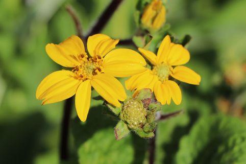 Goldkörbchen 'Andre Viette' - Chrysogonum virginianum 'Andre Viette'