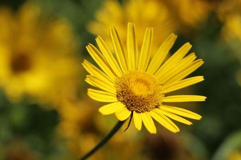 Goldmargerite - Buphthalmum salicifolium