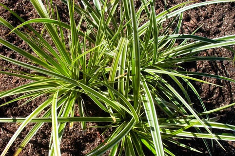 Goldrand Segge 'Aureovariegata' - Carex morrowii 'Aureovariegata'