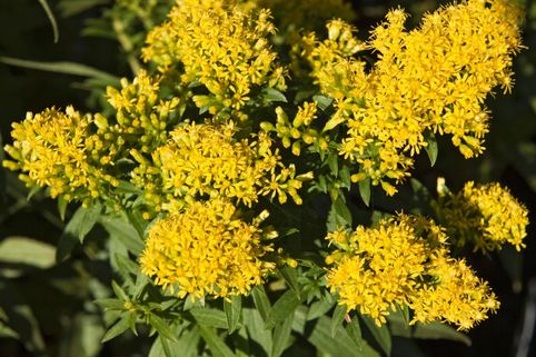 Goldrute 'Laurin' - Solidago x cultorum 'Laurin'