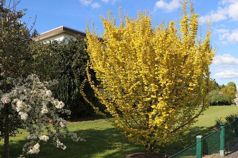 Goldulme 'Wredei' - Ulmus carpinifolia 'Wredei'