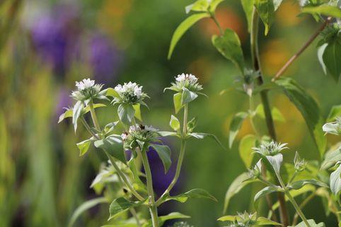 Grannenlose Scheinbergminze - Pycnanthemum muticum