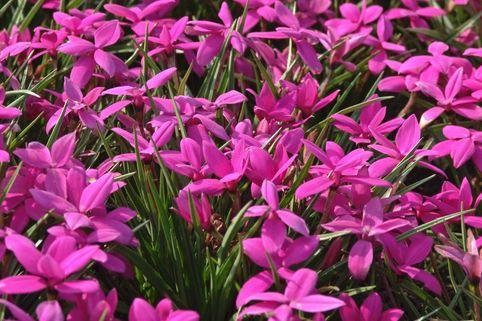 Grasstern 'Claret' - Rhodohypoxis baurii 'Claret'