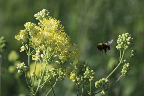 Graublättrige Wiesenraute - Thalictrum flavum subsp. glaucum