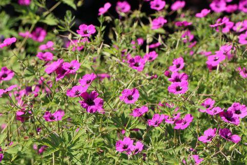 Grauer Storchschnabel 'Purpureum' - Geranium cinereum subsp. subcaulescens 'Purpureum'