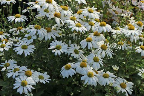 Grönlandmargerite - Arctanthemum arcticum