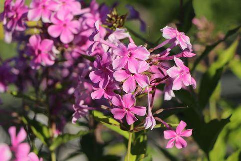Großblättrige Flammenblume 'Christine' - Phlox amplifolia 'Christine'