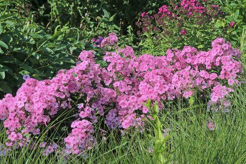 Großblättrige Flammenblume 'Minnehaha' - Phlox amplifolia 'Minnehaha'