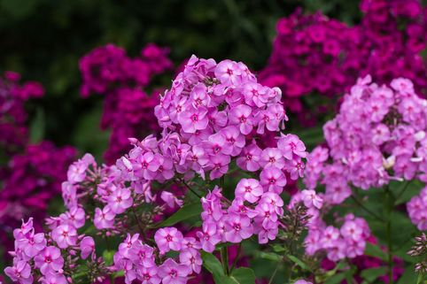 Großblättrige Flammenblume 'Pink Lady' - Phlox amplifolia 'Pink Lady'
