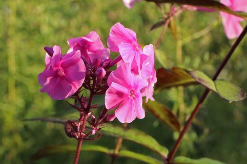 Großblättrige Flammenblume 'Winnetou' - Phlox amplifolia 'Winnetou'