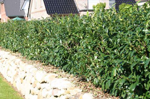 Großblättriger Kirschlorbeer / Lorbeerkirsche 'Schipkaensis Macrophylla' - Prunus laurocerasus 'Schipkaensis Macrophylla'