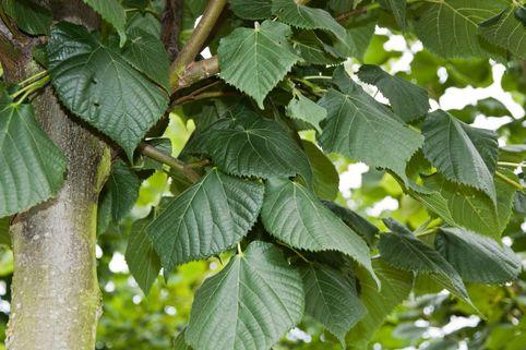 Großblättrige Sommerlinde - Tilia platyphyllos