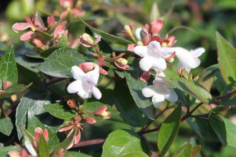 Großblütige Abelie - Abelia grandiflora
