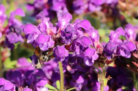 Großblütige Braunelle 'Bella Blue' - Prunella grandiflora 'Bella Blue'