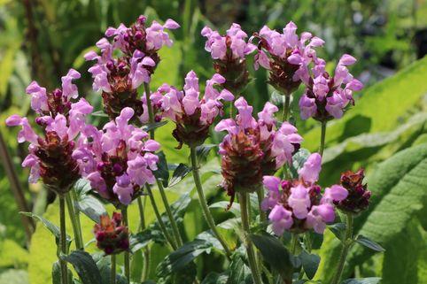 Großblütige Braunelle 'Loveliness' - Prunella grandiflora 'Loveliness'