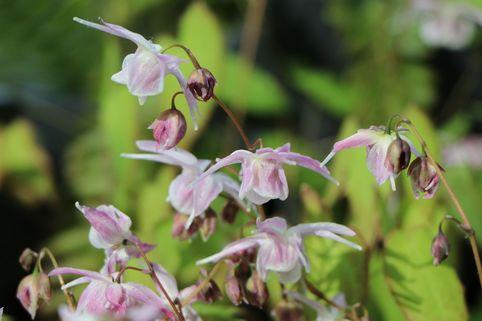 Großblütige Elfenblume 'Akebono' - Epimedium grandiflorum 'Akebono'