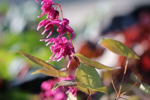 Großblütige Elfenblume 'Rose Queen' - Epimedium grandiflorum 'Rose Queen'