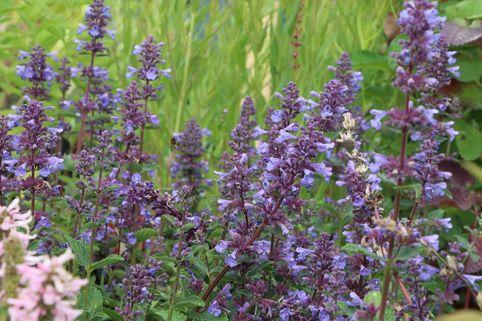 Großblütige Katzenminze 'Blue Danube' - Nepeta grandiflora 'Blue Danube'