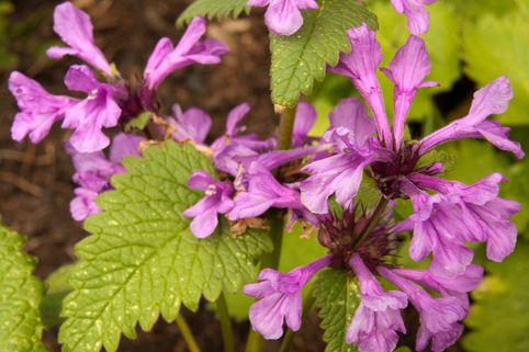 Großblütiger Ziest - Stachys grandiflora