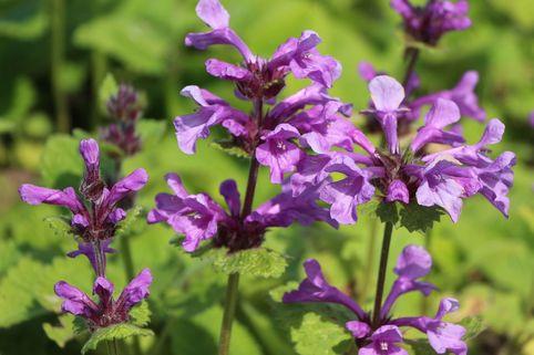 Großblütiger Ziest 'Superba' - Stachys grandiflora 'Superba'