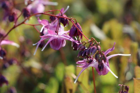 Großblumige Elfenblume 'Lilafee' - Epimedium grandiflorum 'Lilafee'
