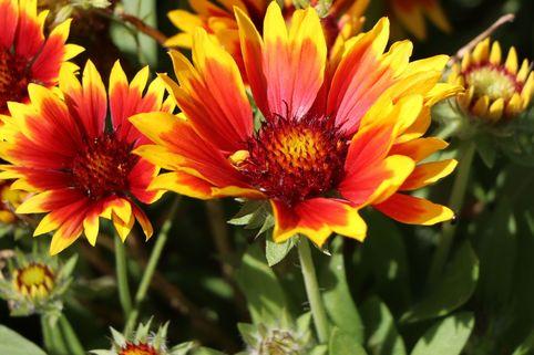 Großblumige Kokardenblume 'Bremen' - Gaillardia x grandiflora 'Bremen'