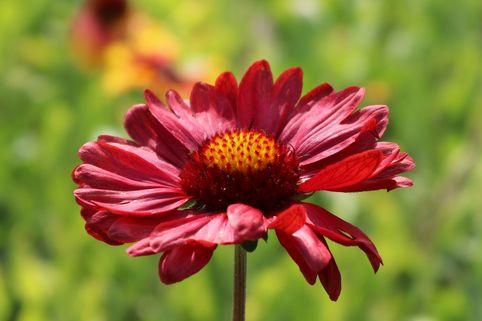 Großblumige Kokardenblume 'Burgunder' - Gaillardia x grandiflora 'Burgunder'