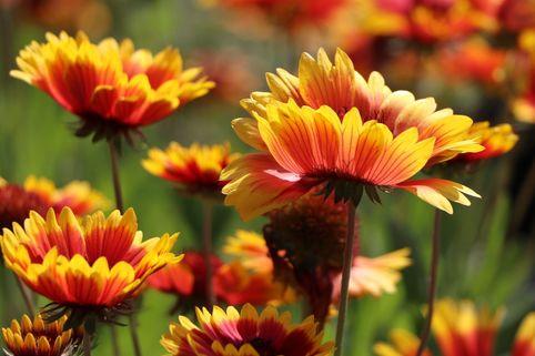 Großblumige Kokardenblume 'Kobold' - Gaillardia x grandiflora 'Kobold'