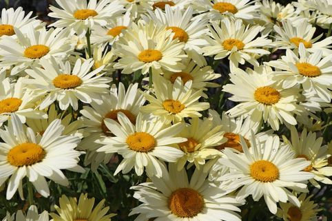 Großblumige Margerite 'Broadway Lights' ® - Leucanthemum x superbum 'Broadway Lights' ®