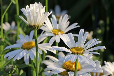 Großblumige Margerite 'Dwarf Snow Lady' - Leucanthemum x superbum 'Dwarf Snow Lady'