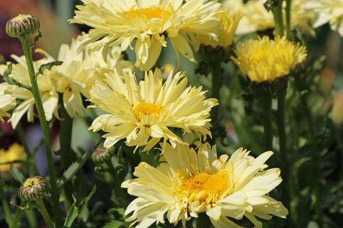 Großblumige Margerite 'Goldfinch' - Leucanthemum x superbum 'Goldfinch'
