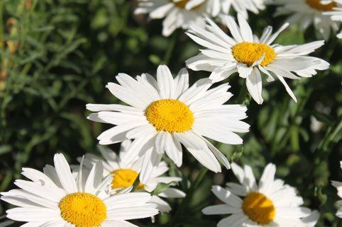 Großblumige Margerite 'Gruppenstolz' - Leucanthemum x superbum 'Gruppenstolz'
