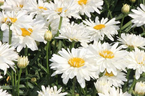 Großblumige Margerite 'Paladin' - Leucanthemum x superbum 'Paladin'