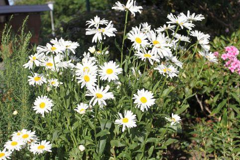 Großblumige Margerite 'Polaris' - Leucanthemum x superbum 'Polaris'