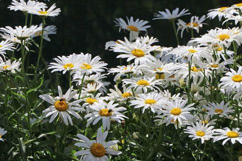Großblumige Margerite 'Silberprinzesschen' - Leucanthemum x superbum 'Silberprinzesschen'