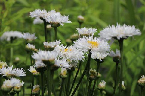 Großblumige Margerite 'Snehurka' - Leucanthemum x superbum 'Snehurka'