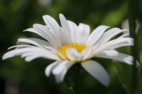 Großblumige Margerite 'Starburst' - Leucanthemum x superbum 'Starburst'
