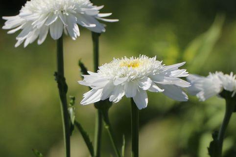 Großblumige Margerite 'Wirral Supreme' - Leucanthemum x superbum 'Wirral Supreme'