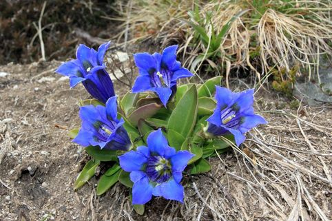 Großblumiger Frühlings-Enzian - Gentiana acaulis