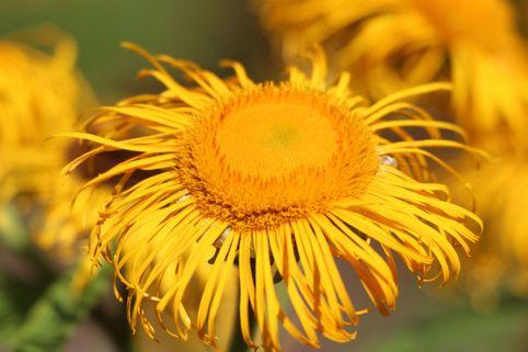 Großblumiger Scheinalant - Telekia speciosa
