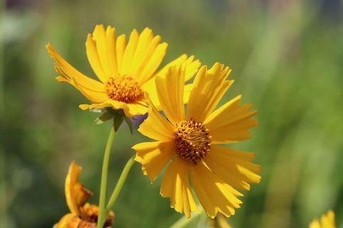 Großblumiges Mädchenauge 'Christchurch' - Coreopsis grandiflora 'Christchurch'