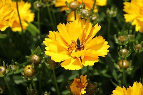 Großblumiges Mädchenauge 'Presto' ® - Coreopsis grandiflora 'Presto' ®