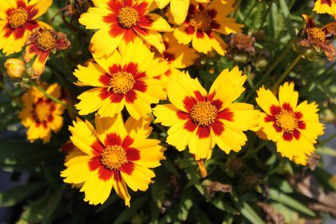 Großblumiges Mädchenauge 'Sonnenkind' - Coreopsis grandiflora 'Sonnenkind'
