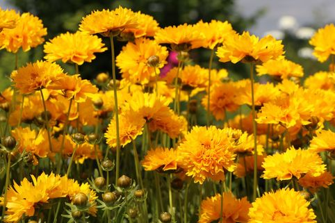 Großblumiges Mädchenauge 'Sunray' - Coreopsis grandiflora 'Sunray'