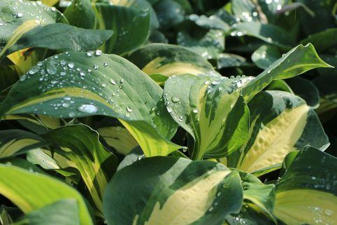Große Blaugraue Funkie / Herzblattlilie 'Thunderbolt' ® - Hosta sieboldiana 'Thunderbolt' ®