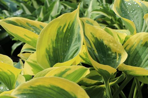 Große Goldrand-Funkie 'Clifford's Forest Fire' ® - Hosta x cultorum 'Clifford's Forest Fire' ®