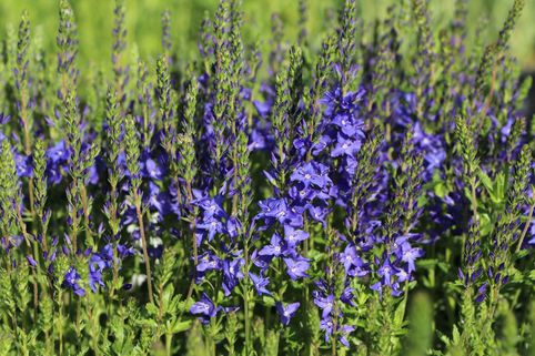 Großer Ehrenpreis 'Royal Blue' - Veronica teucrium 'Royal Blue'