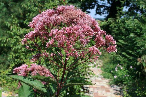 Großer Garten Wasserdost 'Atropurpureum' - Eupatorium fistulosum 'Atropurpureum'